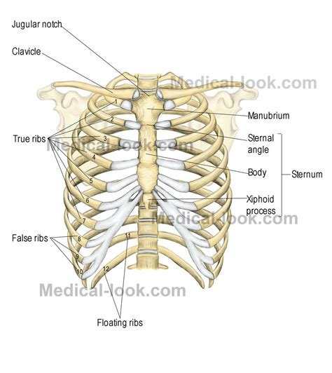 The rib cage is the arrangement of ribs attached to the vertebral column and sternum in the thorax of most vertebrates. ribcage | Human ribs, Rib cage anatomy, Human body anatomy