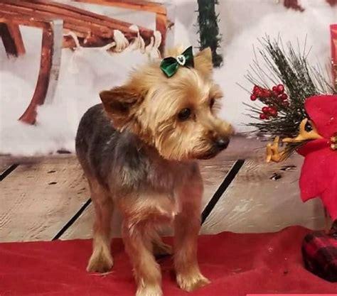 yorkshire terrier grandma takes wrong dog  groomer holidogtimes
