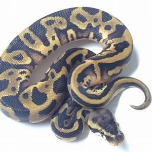 Pastel Leopard Ball Python for Sale - xyzReptiles
