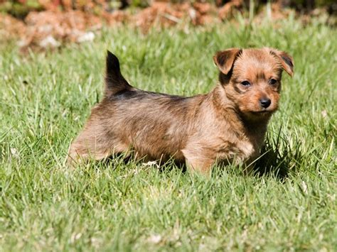 super cute dog breeds youre  unfamiliar