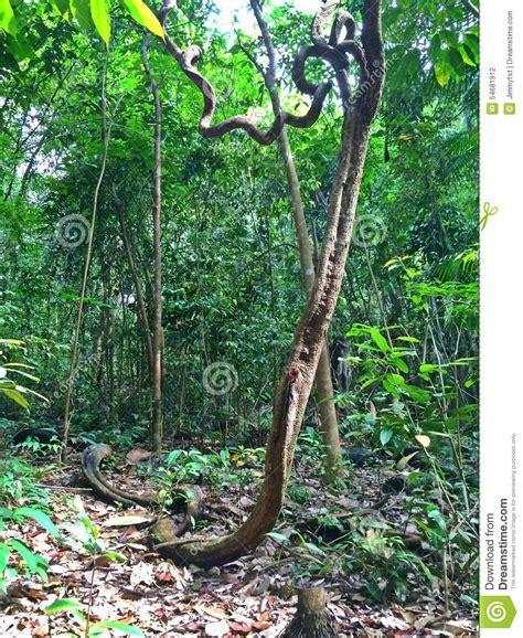 Liana  Tropical Rainforest Stock Photo  Image 54681912