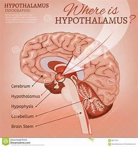 Hypothalamus Cartoons  Illustrations  U0026 Vector Stock Images