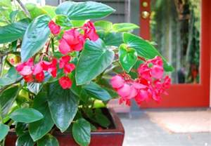 wing begonia care dragon wing red begonia care website of mezuludo