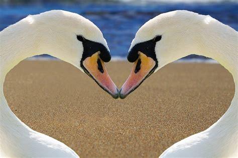 photo swan heart love bill beach  image