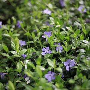 Plantes Et Jardin : grande pervenche plantes et jardins ~ Melissatoandfro.com Idées de Décoration