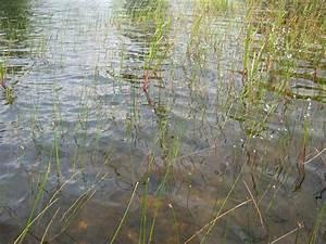Wasser Steht In Der Spülmaschine : wasser lobelie wikipedia ~ Orissabook.com Haus und Dekorationen