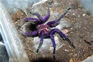 1000+ images about Purple Bloom Tarantula on Pinterest ...