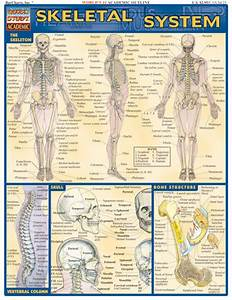 Barcharts Skeletal System Quick Study Guide