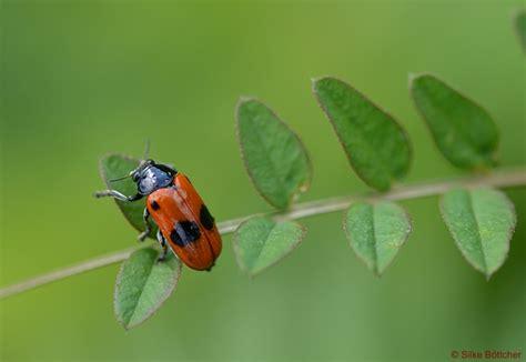 Woher Der Ameisen-sackkäfer Seinen Namen Hat