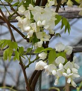 Plante Grimpante Pergola : une plante grimpante est utilis e dans la plupart des cas pour gar pinterest ~ Nature-et-papiers.com Idées de Décoration