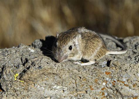 rock pocket mouse chaetodipus intermedius photo