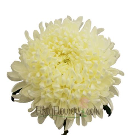 football mums white football mum flower