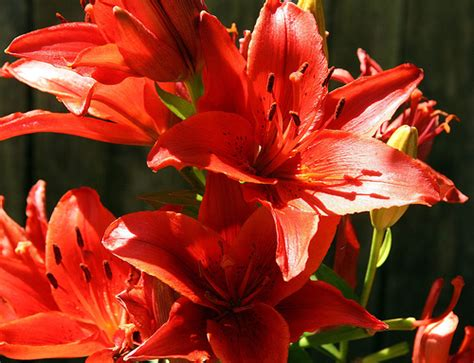 care  asiatic lilies ehow uk