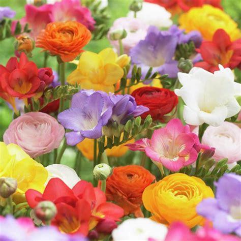 zyverden grand freesia and ranunculus blend bulbs set