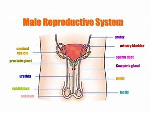 Male Reproduction System | Male Models Picture