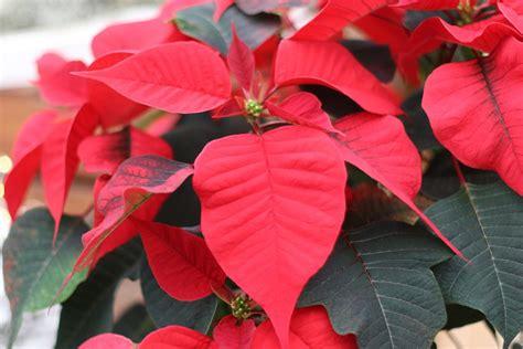 Gehoelze Schneiden Pflanzen Und Pflegen by Weihnachtsstern Pflege Und Schneiden Der Winterlichen