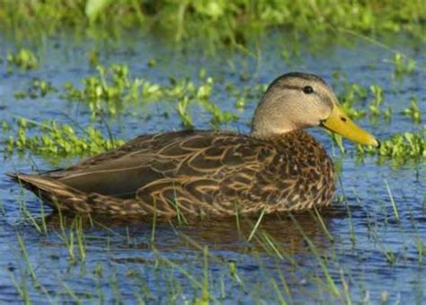 when wild ducks are fed human food especially bread or