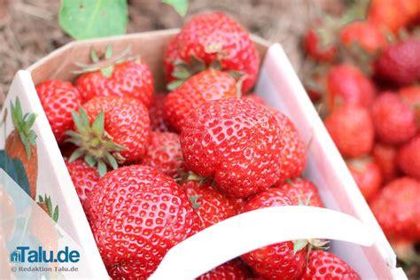 erdbeeren remontierende sorten erdbeersorten 220 bersicht beliebter neuer und alter sorten talu de