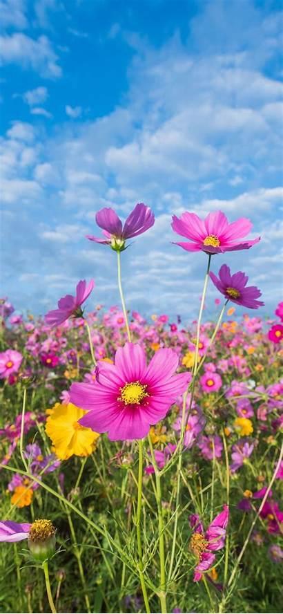 Iphone Flowers Summer Pink Meadow Cosmos Wallpapers