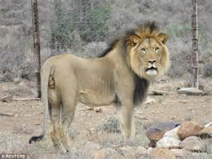 South African lion moves to new enclosure with 2 new ...