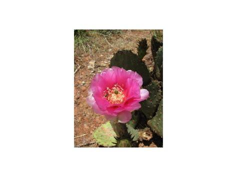Opuntia kaktus - Opuncija Indijska smokva (seme) - Kupindo.com (17119437)