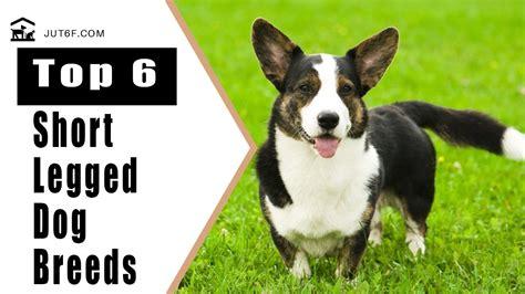 top  short legged dog breeds youtube