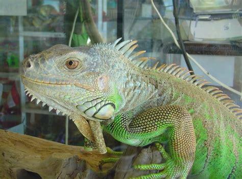 iguana pet green iguanas as pets read it at rss2 com