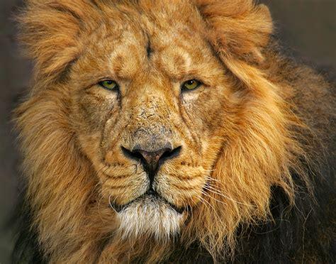 The Asiatic Lion |the Garden Of Eaden