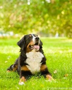 Berner Sennenhund Gewicht : berner sennenhund verhalten wesen haltung etc ~ Markanthonyermac.com Haus und Dekorationen