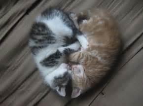 cardiac cats sleeping kittens 1funny