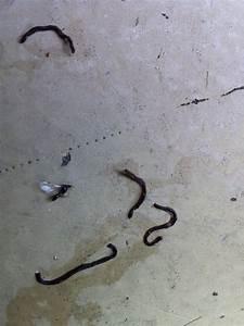 Kleine Schwarze Würmer : was ist das bild schwarze w rmer fallen aus topfpflanze ~ Lizthompson.info Haus und Dekorationen