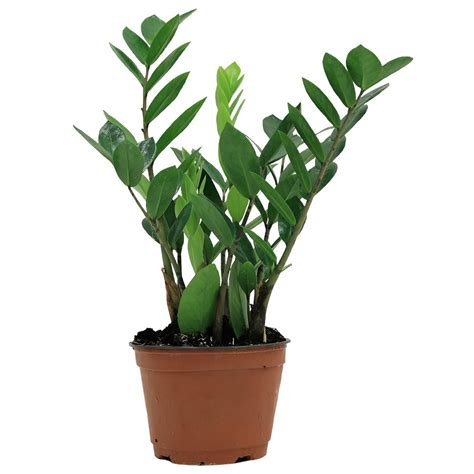bathroom decorations pictures costa farms zz plant in 6 in grower pot 6zz the home depot