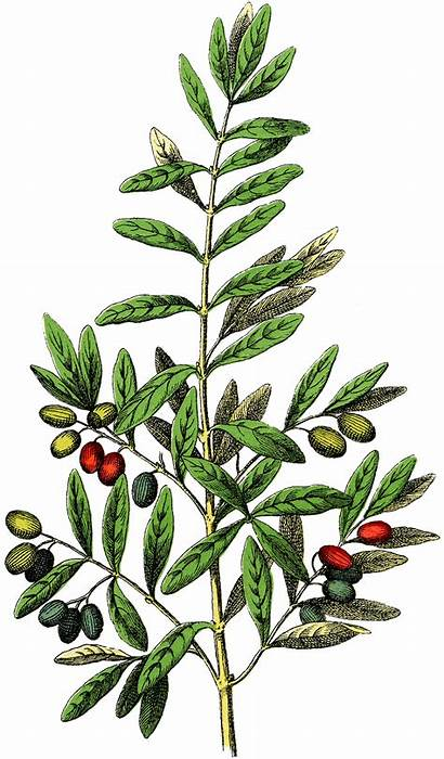 Clip Botanical Olives Clipart Graphics Tree Pine