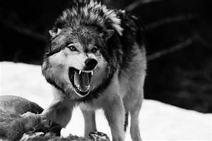 Angry Wolf | wolf | Pinterest | What is, You are and Angry ...