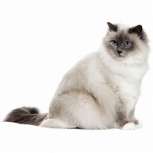 Site De Discussion : chat sacr de birmanie chat et chaton fiche de race du chat sacr de birmanie wikichat ~ Medecine-chirurgie-esthetiques.com Avis de Voitures