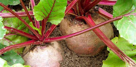 cuisiner les feuilles de betteraves rouges betteraves rouges