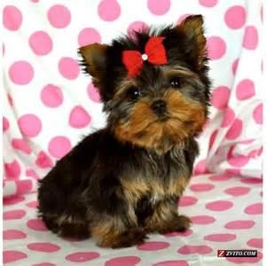 Micro Tiny Teacup Yorkie Puppy