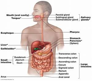 Where Is My Liver Located Diagram  U2013 Location Of Liver