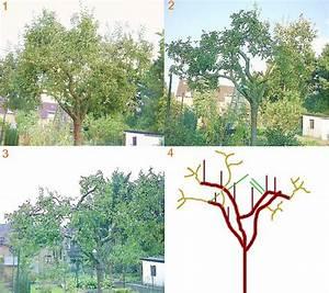Apfelbaum Wann Schneiden : jungen apfelbaum schneiden jungen apfelbaum schneiden wann wie macht man das apfelbaum ~ Frokenaadalensverden.com Haus und Dekorationen