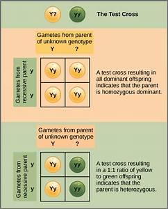 Complex Inheritance Patterns | Boundless Anatomy and ...