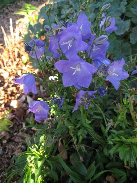 Purple Perennial Flowers with Stalks