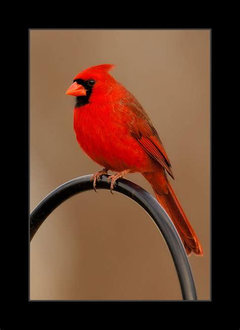 male cardinal   wire cardinals photo  fanpop