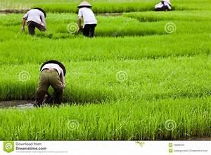 Asian Workers On Rice Paddy Stock Images - Image: 16608434