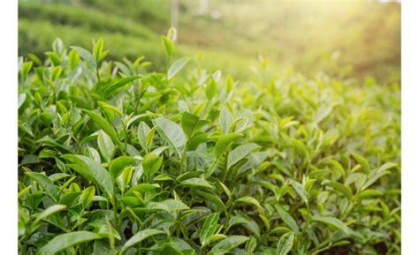 Tejas koka ēteriskās eļļas īpašības un pielietojums