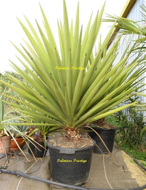yucca plante interieur ou exterieur plantes exotiques pour jardin et terrasse en vente chez palmiers prestige