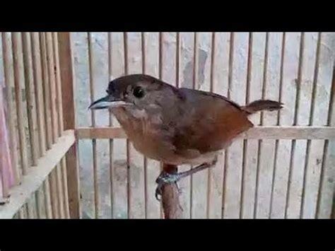 Suara burung flamboyan betina,untuk pancingan jantan yang macet. Gambar Burung Flamboyan Jantan Dan Betina | Gambar Burung ...