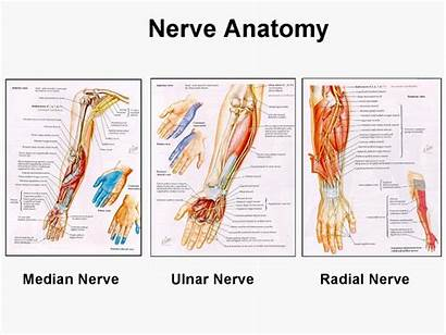 Upper Anatomy Extremity Veins Arteries Muscles Limb