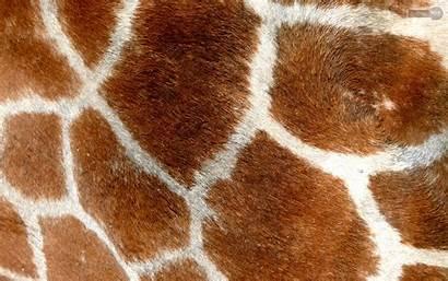 Giraffe Backgrounds Wallpapers Giraffes Spot Animal Desktop