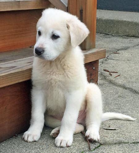 chief  great pyrenees mix puppies daily puppy