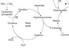 NEW GLUCONEOGENESIS MALATE SHUTTLE | Glycogen